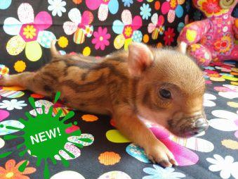 Mini Pigs for sale