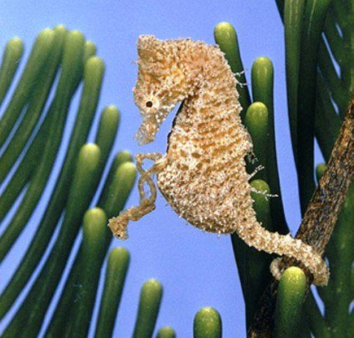 Gambar Kuda Laut Diantara Tumbuhan