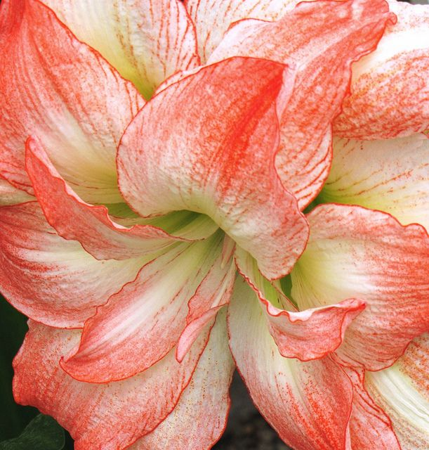 ~~amaryllis by Cher12861~~