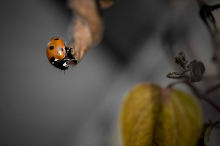 This little ladybug was crawling along a dried vine. I wonder what it was looking for.
