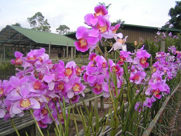 1000 images about plantas diversas e orqu deas on pinterest orchid flowers longwood gardens - Vanda orchid care ...