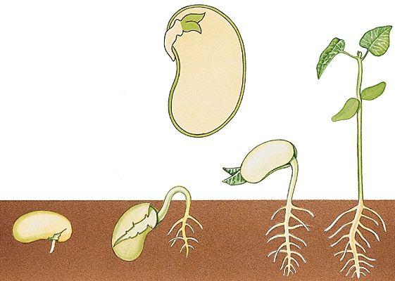 La germination et la croissance d'une graine