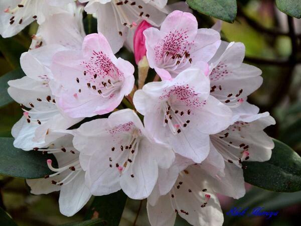 Rhododendron cv.   太陽の交配種 (太陽×アカボシ)×太陽