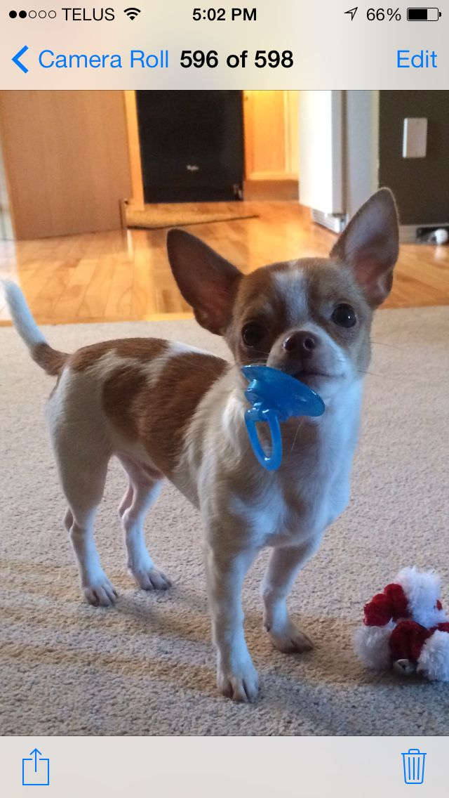 Our chihuahua with his soother