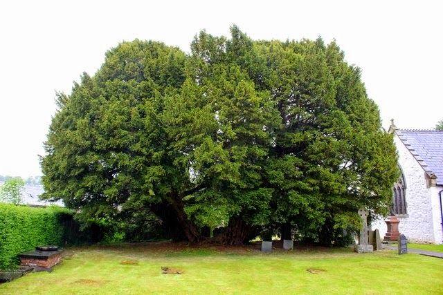 Tejo Llangernyw | Este impresionante tejo reside en un pequeño cementerio en la iglesia St. Dygain, en Llangernyw, Gales. Con cerca de 4,000 años, el tejo fue plantado en algún momento de la Era Prehistórica de Bronce, y sigue creciendo. En 2002, en celebración del Golden Jubilee de la Reina Isabel II, el árbol fue designado como uno de los 50 árboles ingleses importantes por el Consejo de los Árboles.