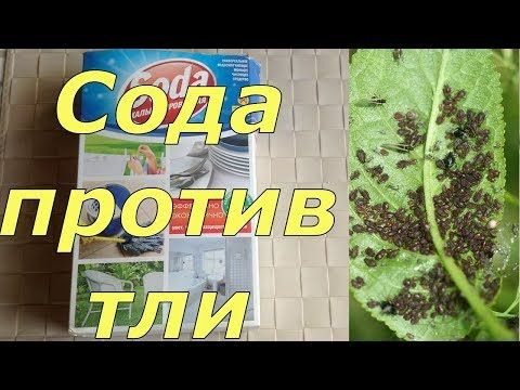 Необычный способ применения пищевой соды в саду и огороде Дачные советы - YouTube