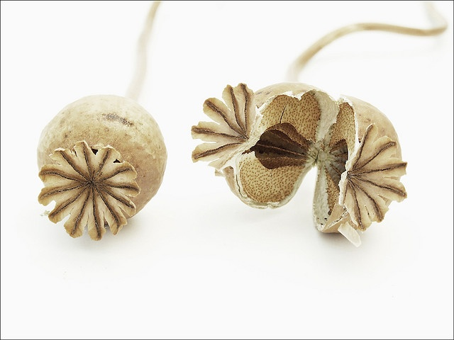 Howard Kendall, seed pods