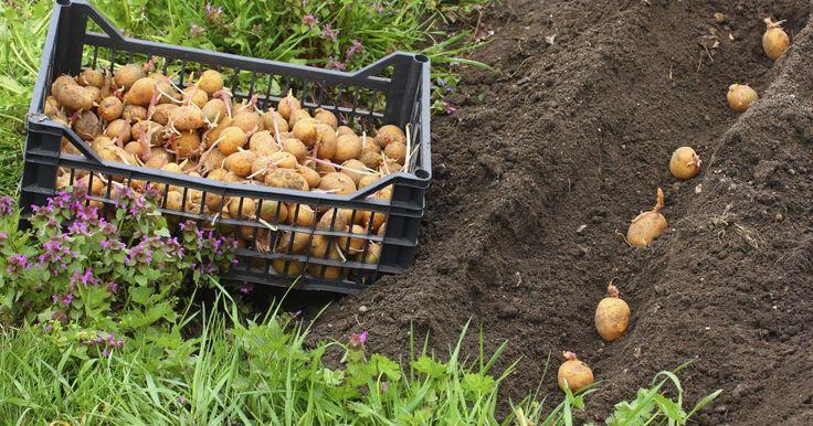 Kartoffeln eignen sich hervorragend zum Anbau im eigenen Garten. Die Sortenvielfalt ist immens und die Ernteerträge beachtlich. Über 50 Kilogramm Kartoffeln konsumiert der Deutsche im Durchschnitt pro Jahr. Umso schöner, wenn ein Teil davon aus dem eignen Garten stammt.