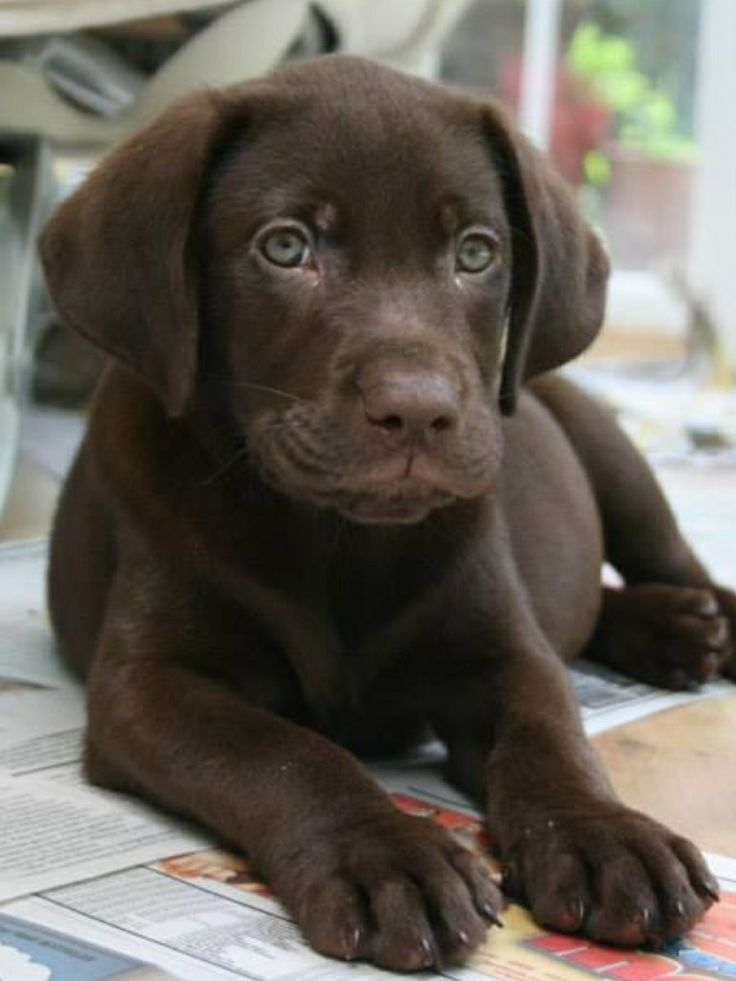 Matilda, labrador puppy, chocolate