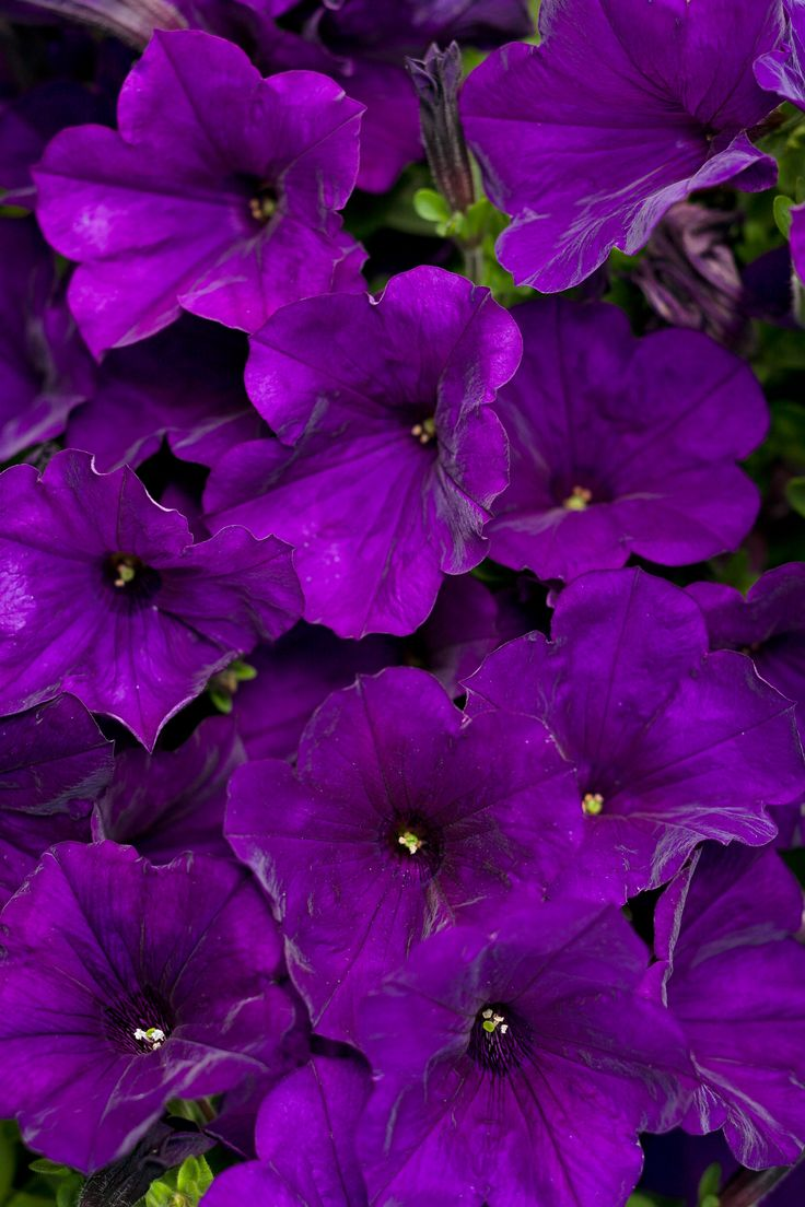 1000 ideas about petunias on pinterest container garden proven winners and gardening. Black Bedroom Furniture Sets. Home Design Ideas