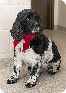 Troy, OH - Cocker Spaniel. Meet Cookie a Dog for Adoption.