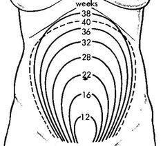 Pregnancy Weeks, Pregnancy Growth Chart, Weeks Baby, 15 16 Weeks, Growth Pregnancy, Uterus Growth, Uterus Pregnancy, Uterine Growth, Pregnancy Baby