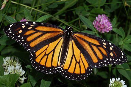 Monarch butterfly - Wikipedia, the free encyclopedia