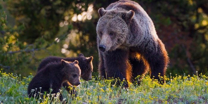 Wyoming is rushing to treat grizzlies like a cash crop for tourist trophy hunters! Demand they listen to science and protect this species. (111796 signatures on petition)