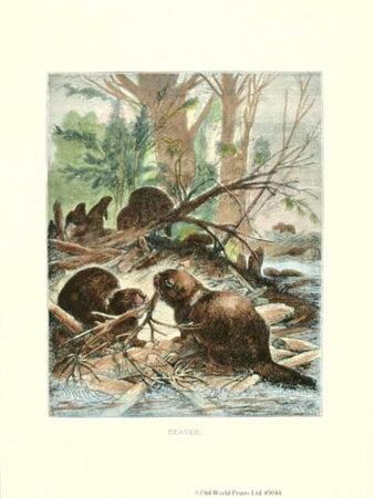 Wet Hairy Beavers 50