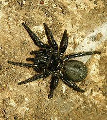 Atrax robustus ou Sydney funnel Web/Atrax robustus se nourrit essentiellement de gros insectes, voire d'autres araignées. Cette araignée au comportement très agressif n'est dangereuse que pour les primates y compris l'Homme, la plupart des autres animaux étant immunisés contre ses toxines.