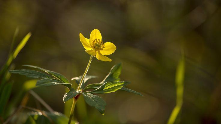 https://flic.kr/p/SCkdjj | Bogláros szellőrózsa | Yellow wood anemone - Anemone ranunculoides