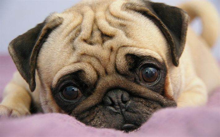 Download wallpaper pug, puppy, pets, cute animals, dogs, muzzle, canis lupus familiaris