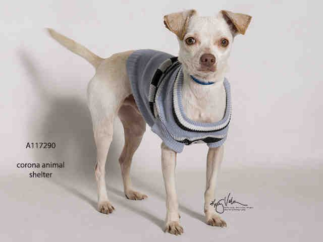 Chihuahua Dog For Adoption In Corona Ca Adn 764600 On