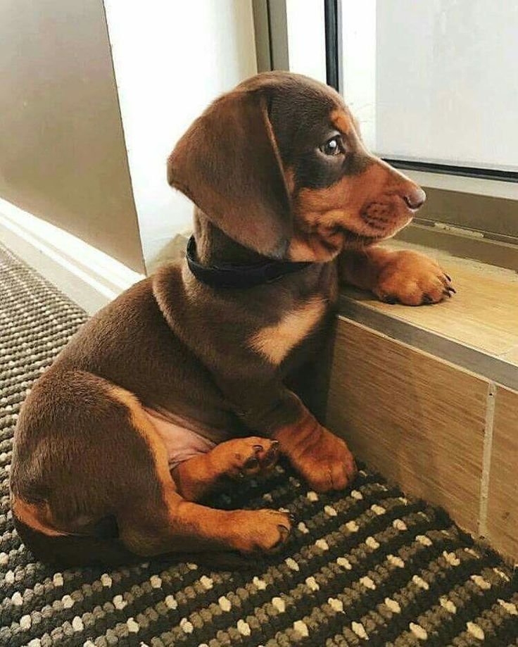 This little guy is adorable! @KaufmannsPuppy
