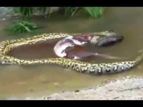 Shocking moment gaint anaconda Regurgitates whole COW in Water