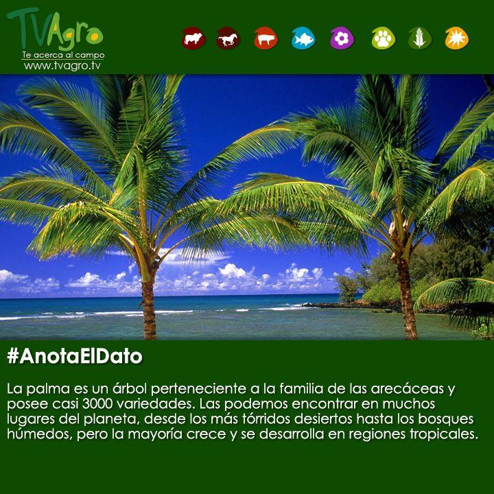 #AnotaElDato Es imposible imaginar la belleza de un paisaje tropical del planeta sin ver una palmera.