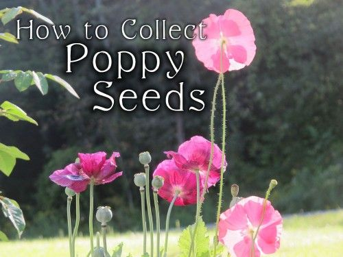 Collecting Poppy Seeds: Fall Gardening Chores // Find great seed-saving tips to ensure your favorite flowers will return next year! #americangrown
