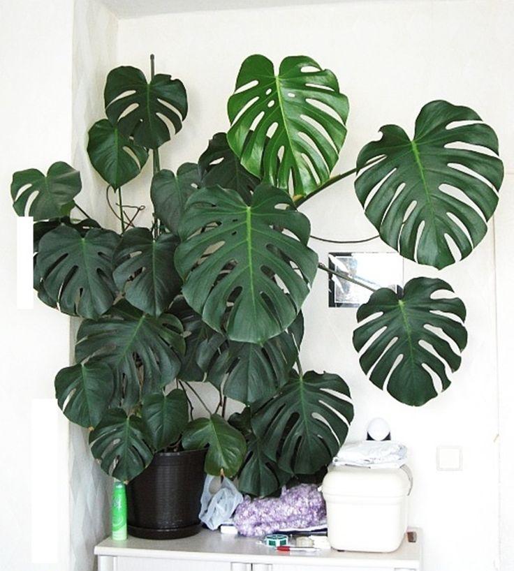 Costilla de Adán, las mejores plantas de interior