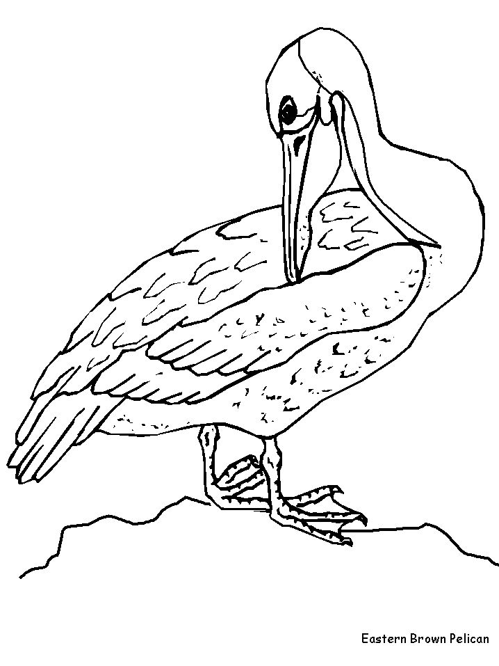 Florida state bird coloring pages ~ Brown pelican coloring page | Coloring Pages Plus :: Ariel ...