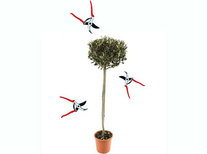 tailler un olivier image divers taille olivier jardinage et olivier. Black Bedroom Furniture Sets. Home Design Ideas
