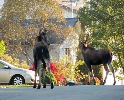 Mr. & Mrs. Moose taking a Sunday stroll in Corner Brook!!!