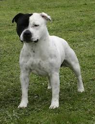 staffordshire bull terrier white