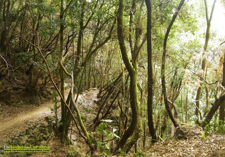 El Bosque de Los Tilos y Los Nacientes de Marcos y Cordero. San Andrés y Sauces. LA PALMA.   --- El Canal y Los Tiles fue la primera Reserva Mundial de la Biosfera de Canarias y Patrimonio de la UNESCO.Posteriormente La Unesco aprobó la ampliación de esta calificación ytoda la isla se convirtió en Reserva Mundial de La Biosfera