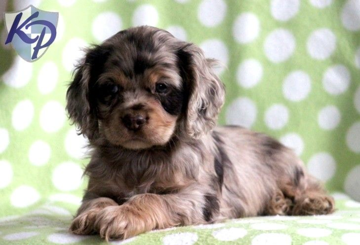 cocker spaniel for sale near me 25 best ideas about cocker spaniel puppies on pinterest 6649