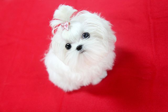 Teacup Maltese Puppies | Top quality teacup maltese puppy | Flickr - Photo Sharing!