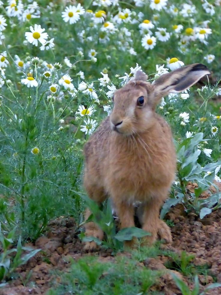 A young hare in the camomile (by Susan Fletcher)