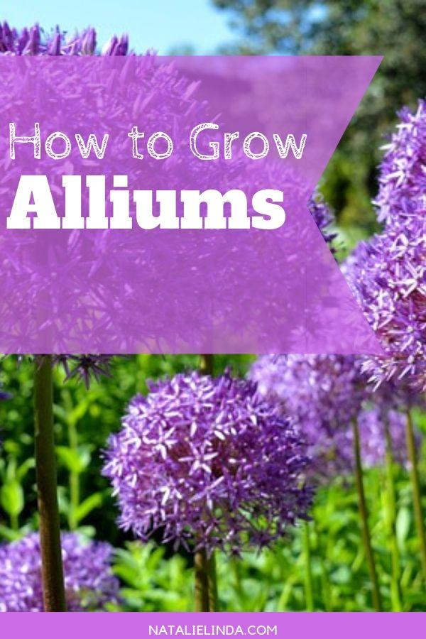 How To Grow Alliums In Your Garden Natalie Linda Allium Flowers Beautiful Flowers Garden Plants