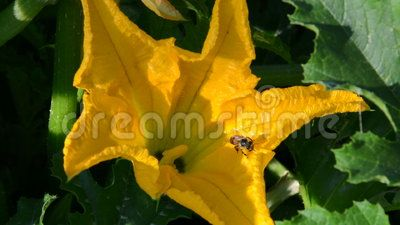 An isolated honeybee cleaning itself after having been pollinized on yellow flower, video