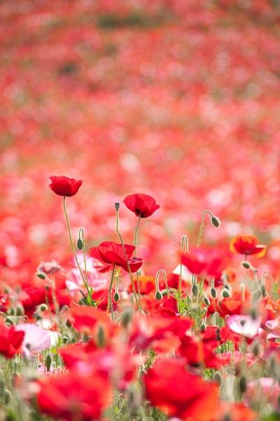 A field of red poppies...
