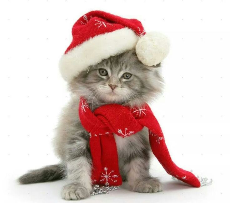 Christmas Kitten ✿⊱╮