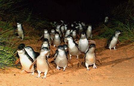 Fairy Penguins!, Phillip Island, Australia