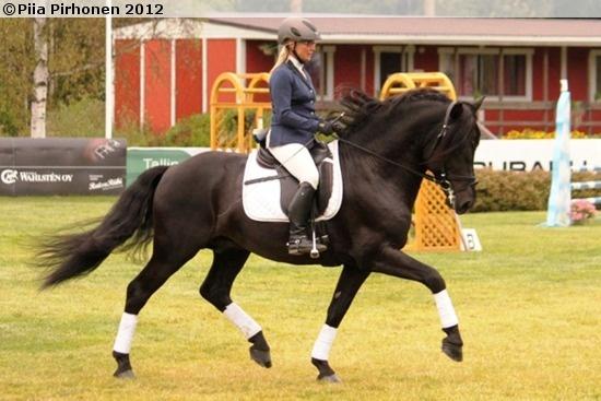 A rare black Finnhorse stallion Silvolan Hemminki