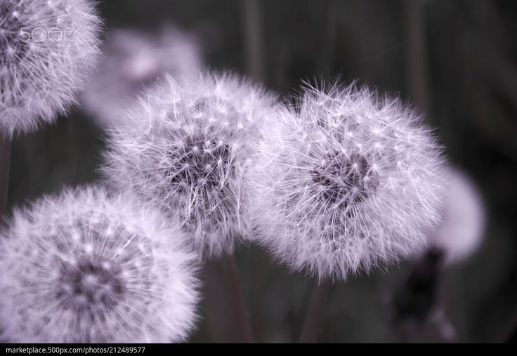 Glowing Dandelions  High quality model: https://500px.com/photo/212489577  © Rau Hartmann Galaxy  #photography #flowers #spring #macro #flower #light #plants #beautiful #plant #blackandwhite #white #garden #flora #dandelion #seeds