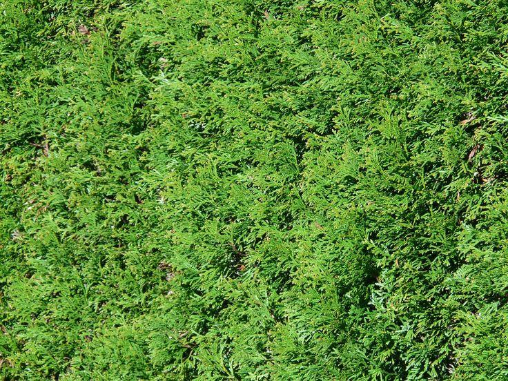 Sieben immergrüne Alternativen zu Thuja Hecken