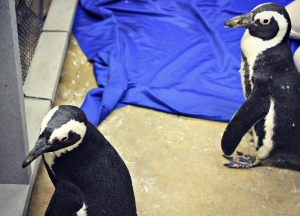 A Valentine's Day-inspired update on our newest (future) lovebirds: penguins Taki and Tatu!