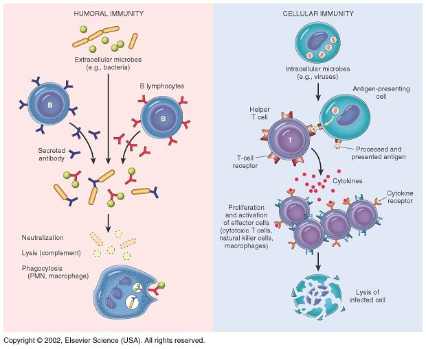 daisy: Search results for cellular immunity