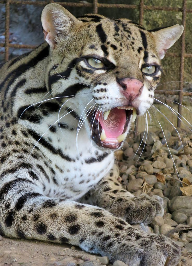These beautiful cats are found as far north as Texas! Pictured: El Refugio's protected ocelot.