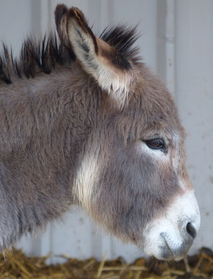 Matthew the miniature donkey @ Island Farm #Donkey Sanctuary
