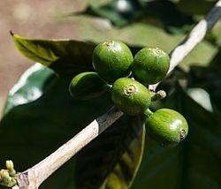 Unripe coffee berries near Kona, Hawaii
