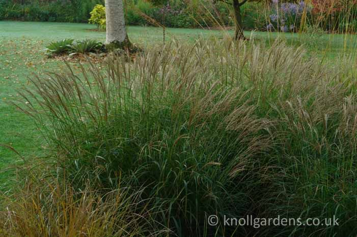 13 best images about gable barn island bed grasses for Japanese mounding grass